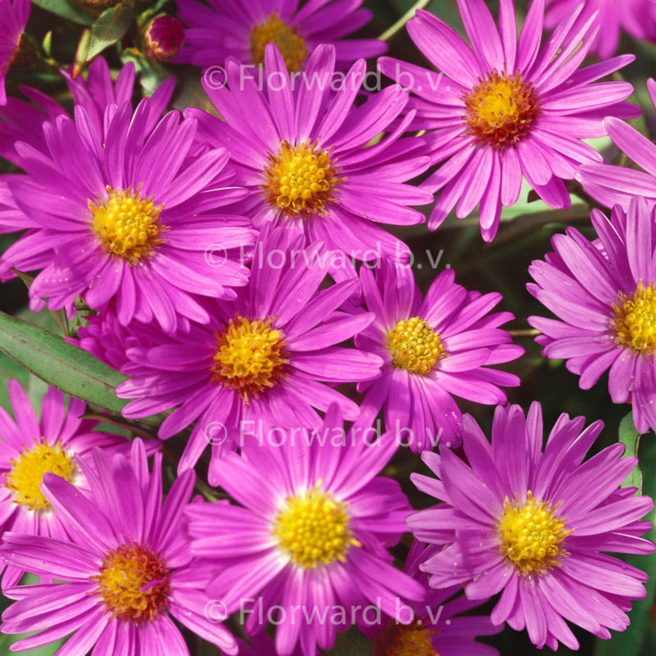 Aster dumosus 'Anneke' plant