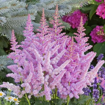 astilbe-vision-in-purple