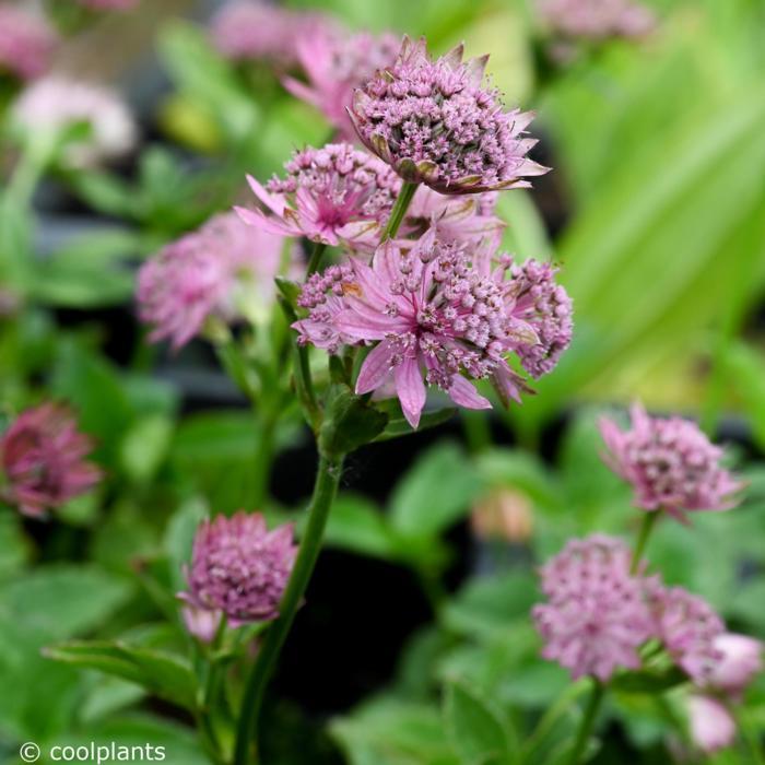 Astrantia major 'Pink Pride' plant