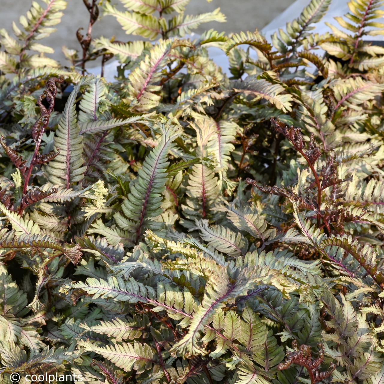 Athyrium niponicum 'Crested Surf' plant