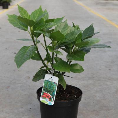 aucuba-japonica-rozannie