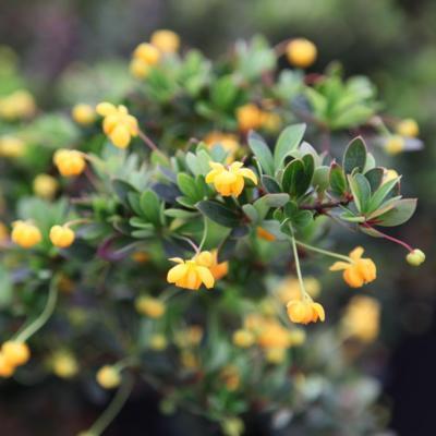 berberis-buxifolia-nana