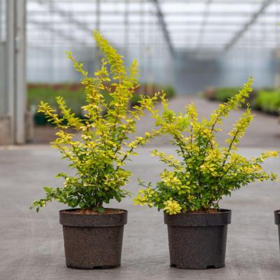 berberis-thunb-aurea