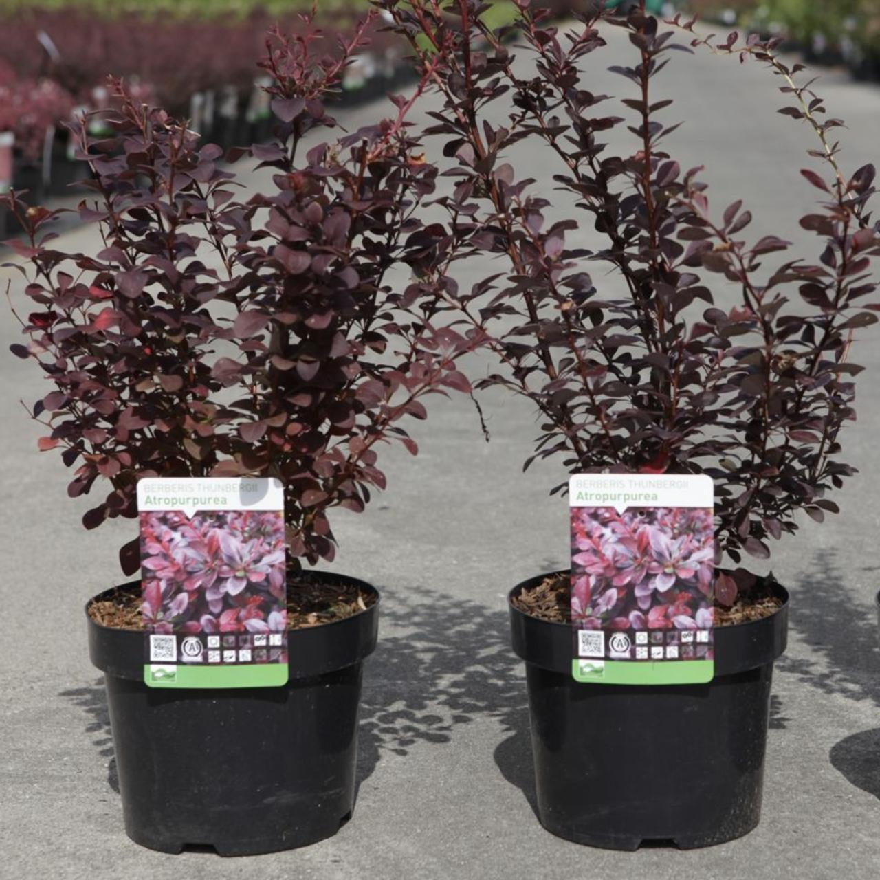 Berberis thunbergii 'Atropurpurea' plant