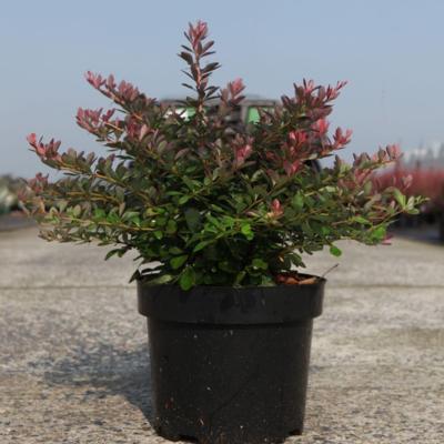 berberis-thunbergii-cabernet