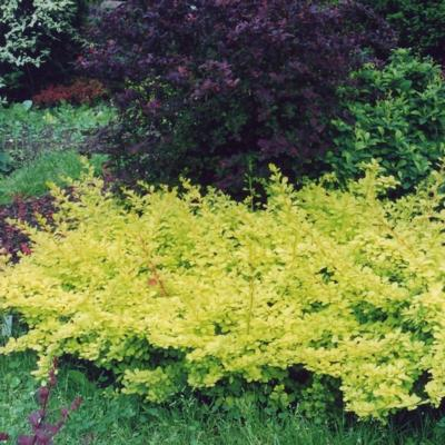 berberis-thunbergii-golden-carpet
