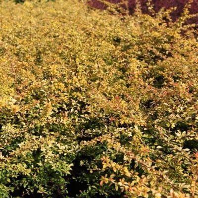berberis-thunbergii-golden-dream