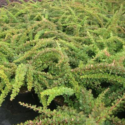 berberis-thunbergii-green-carpet