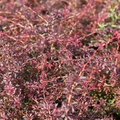 berberis-thunbergii-orange-dream