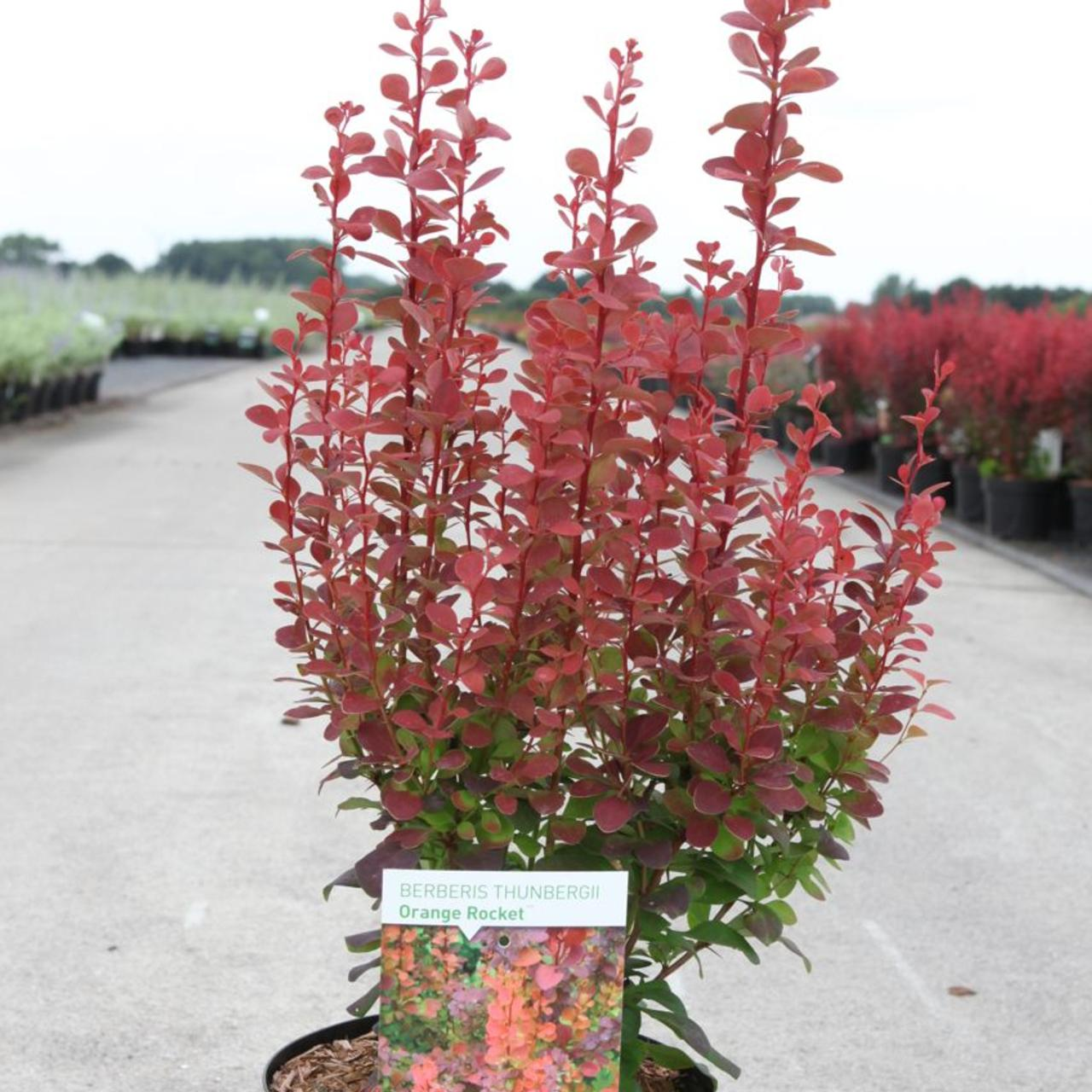 Berberis thunbergii 'Orange Rocket' plant