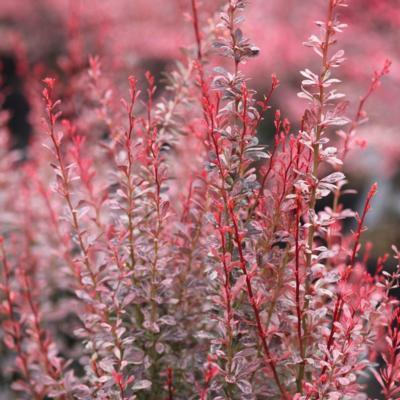 berberis-thunbergii-rosy-rocket