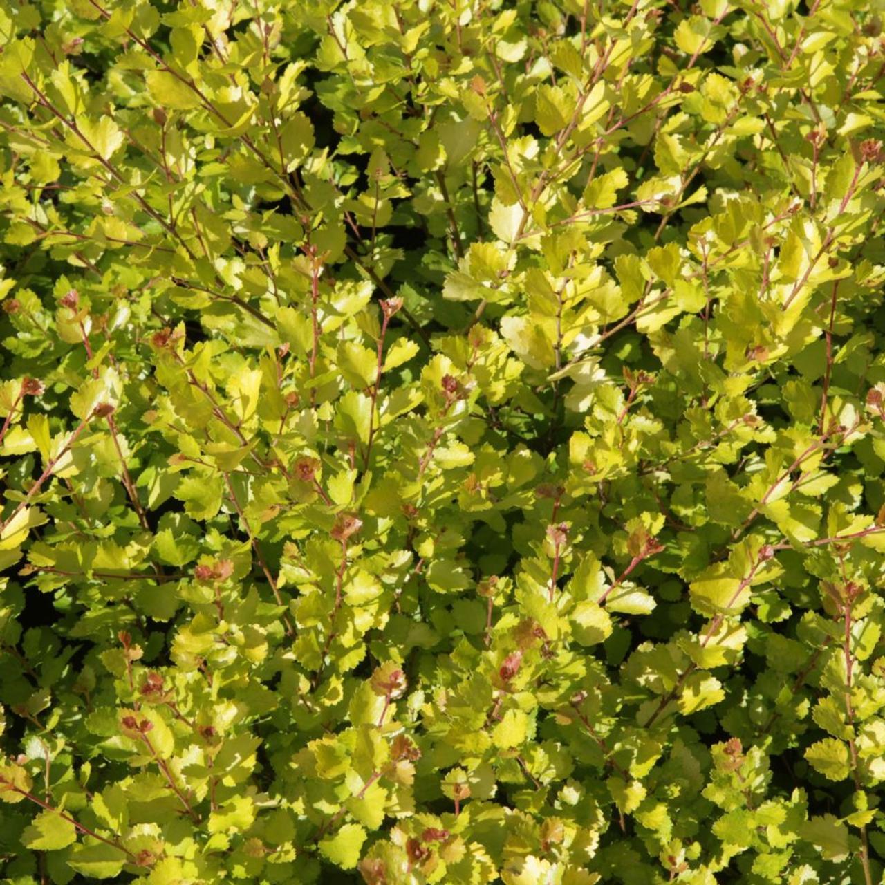 Betula nana 'Golden Treasure' plant