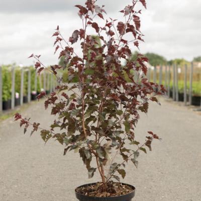 betula-pendula-royal-frost