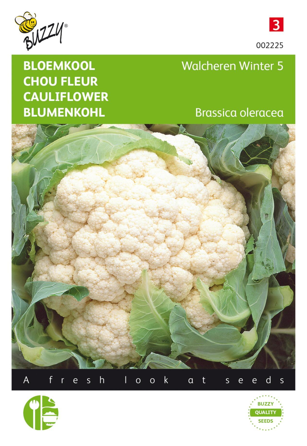 Brassica oleracea 'Walcheren Winter 5' plant