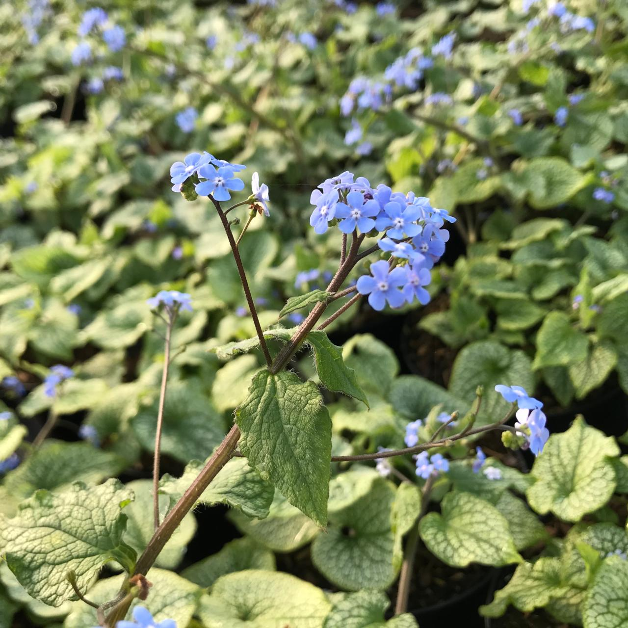 Brunnera macrophylla 'Alexander's Great' (33961)