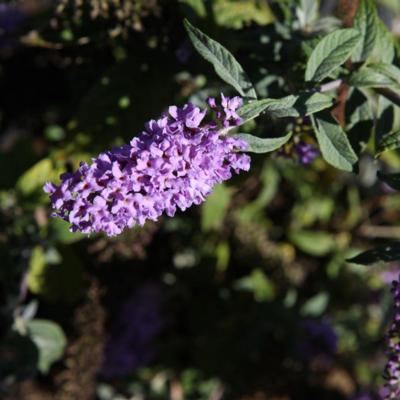 buddleja-davidii-lilac-chip