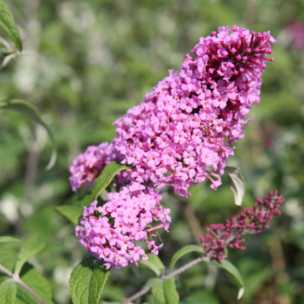 Buddleja davidii 'Pink Delight' plant