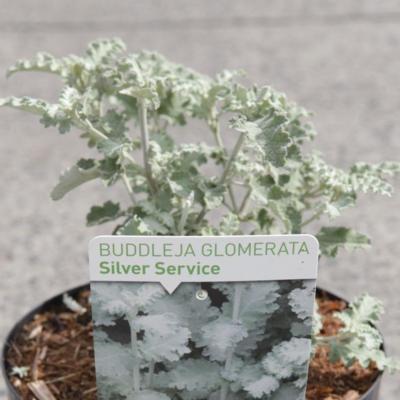 buddleja-glomerata-silver-service