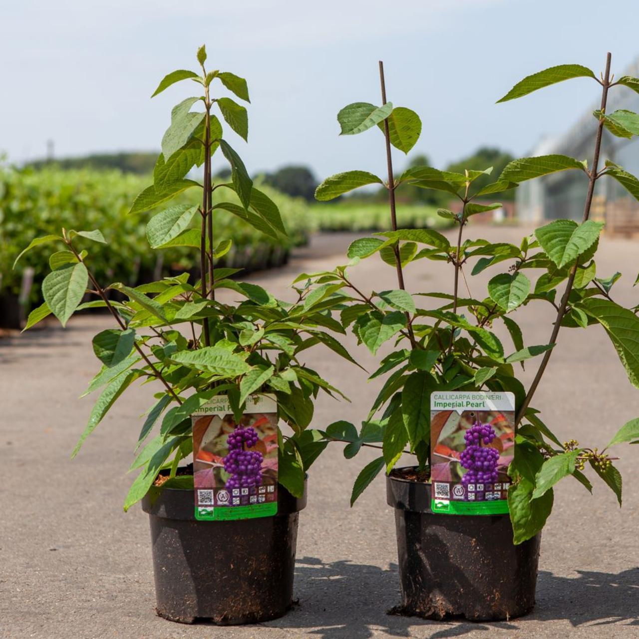 Callicarpa bodinieri 'Imperial Pearl' plant
