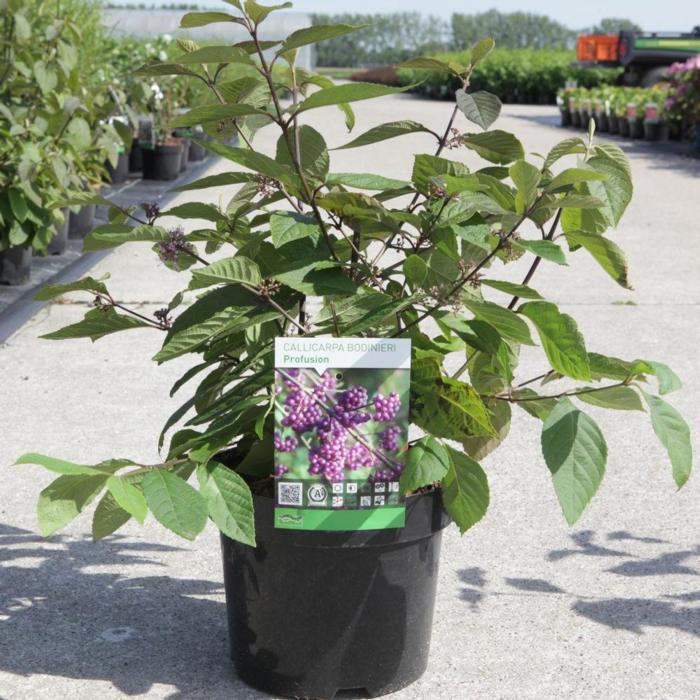 Callicarpa bodinieri 'Profusion' plant