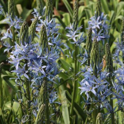 camassia-leichtlinii-blue-candle