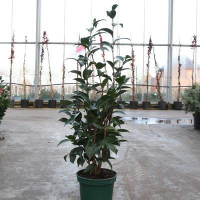 camellia-japonica-cassandra