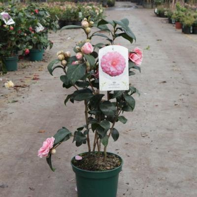 camellia-japonica-virginia-franco