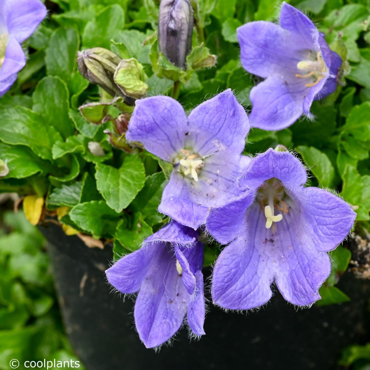 Campanula chamissonis plant
