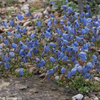 campanula-cochleariifolia