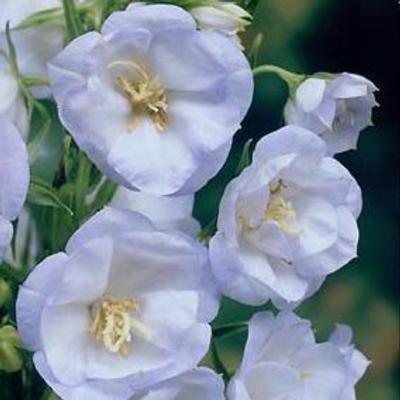 campanula-persicifolia-la-bello