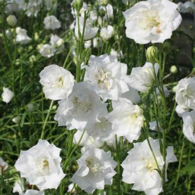 campanula-persicifolia-la-bonne-amie