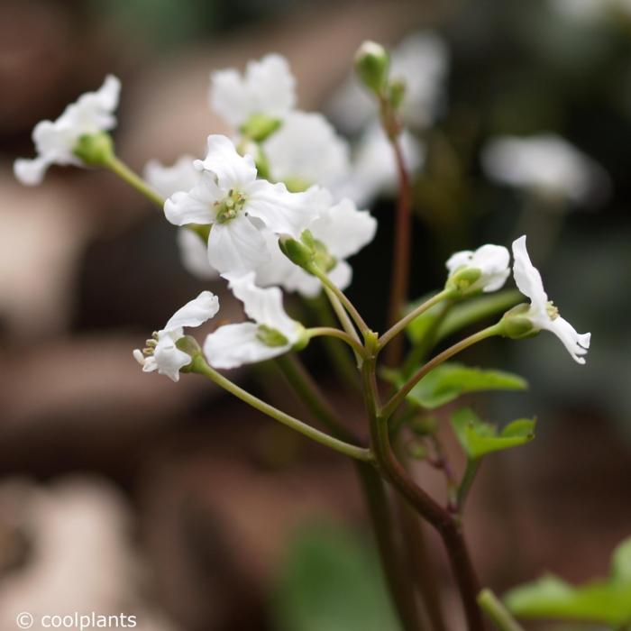 Cardamine trifolia plant