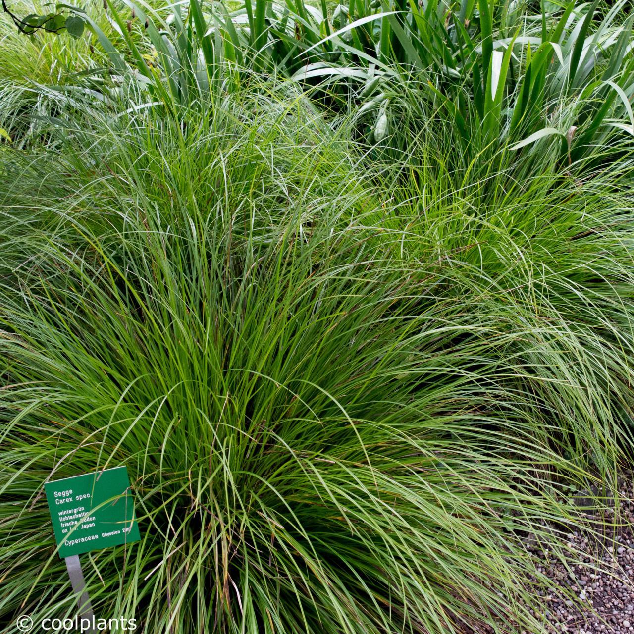 Carex 'Kyoto' plant