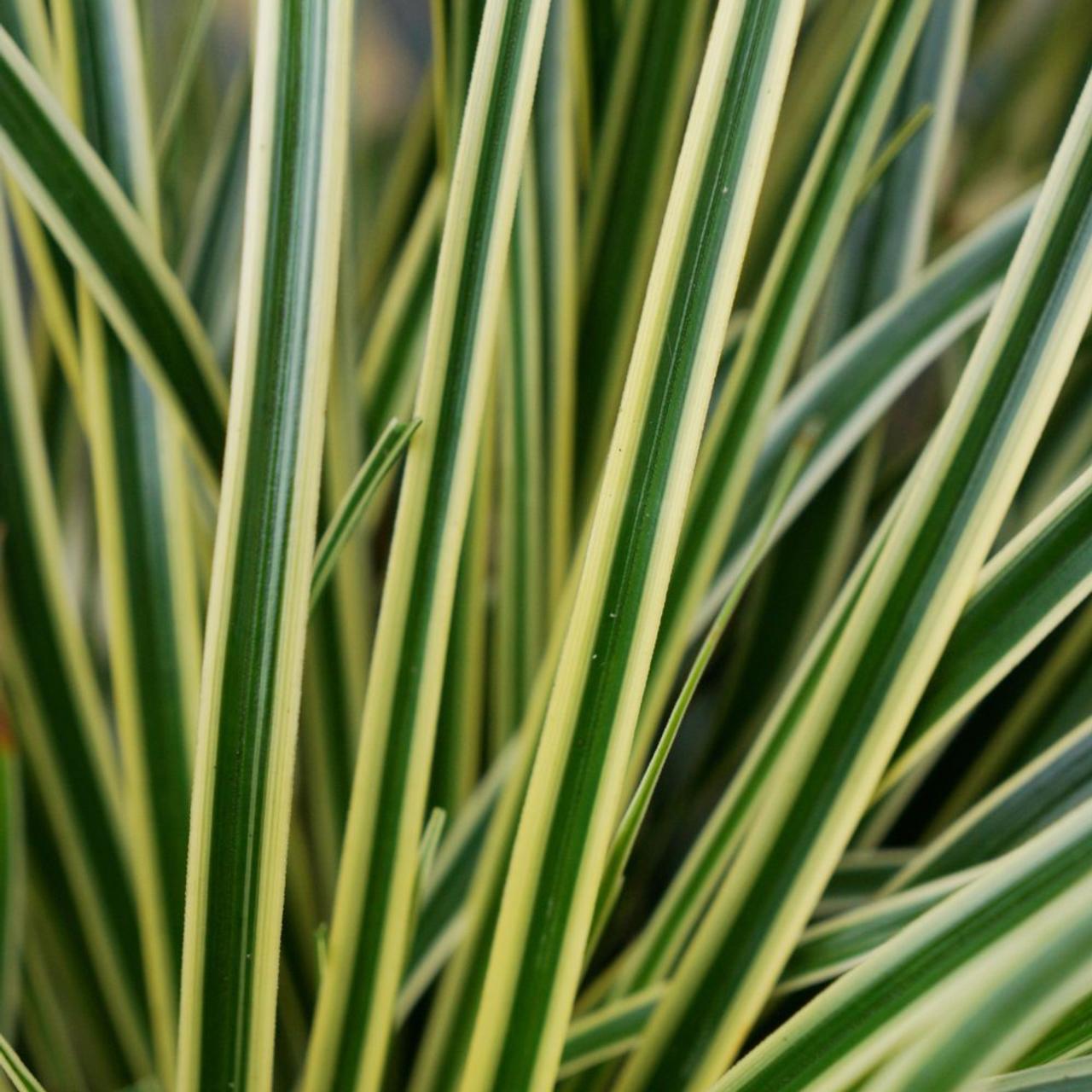 Carex oshimensis 'Evercream' plant
