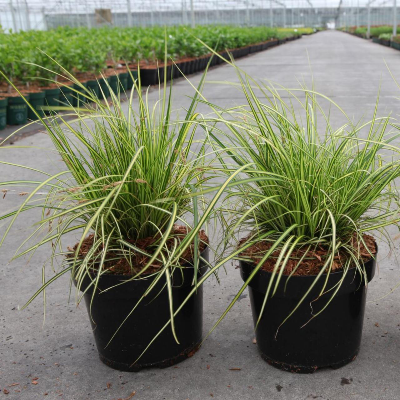 Carex oshimensis 'Eversheen' plant