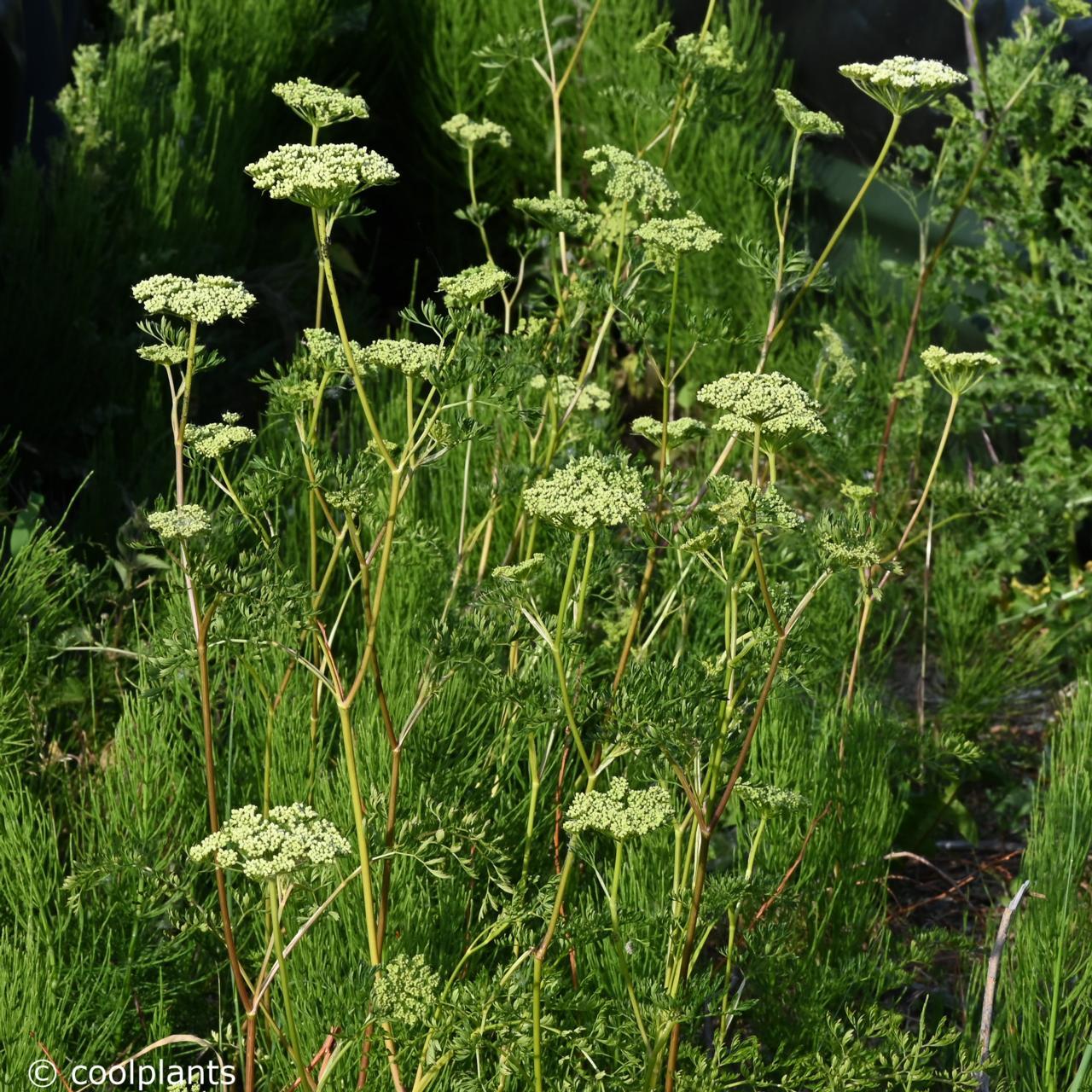 Cenolophium denudatum plant