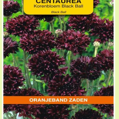 centaurea-cyanus-black-ball