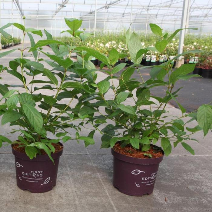 Cephalanthus occidentalis 'Fiber Optics' plant