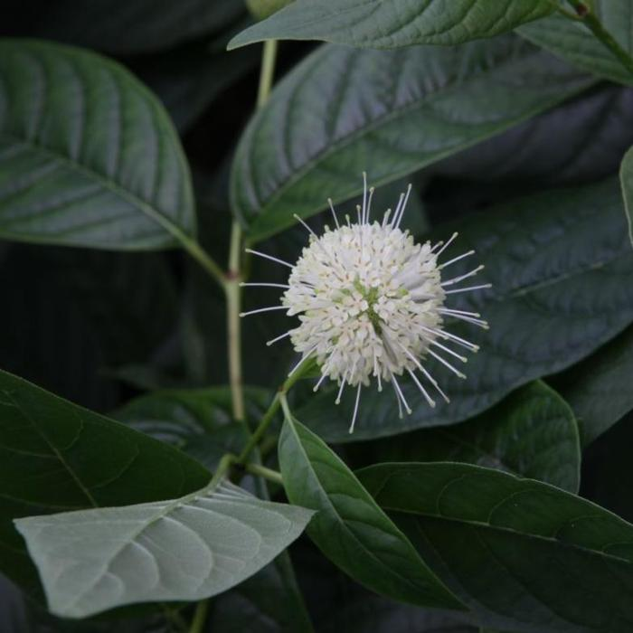 Cephalanthus occidentalis 'Sugar Shack' plant