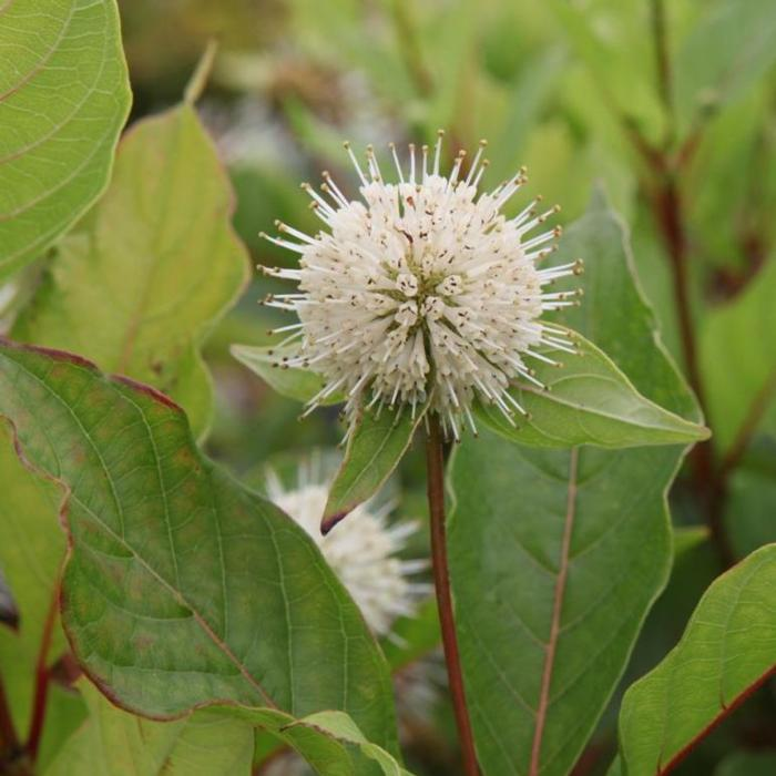 Cephalanthus occidentalis plant