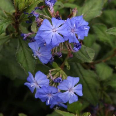 ceratostigma-willmottianum-forest-blue