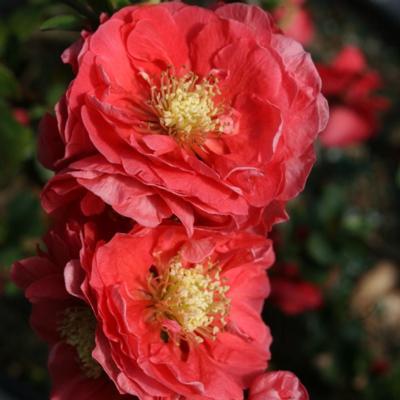chaenomeles-speciosa-pink-storm