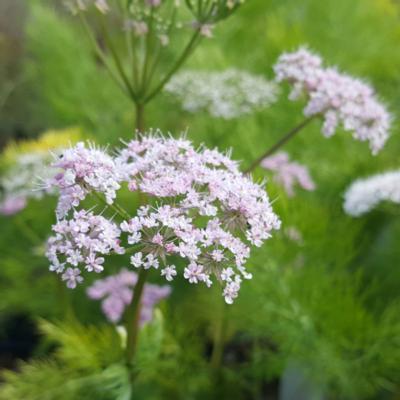 chaerophyllum-hirsutum-roseum