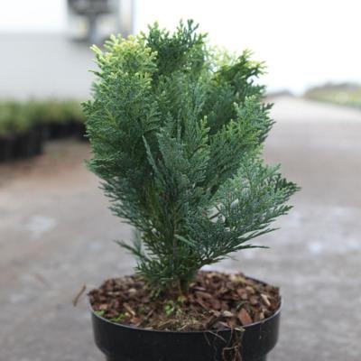 chamaecyparis-l-pygmaea-argentea
