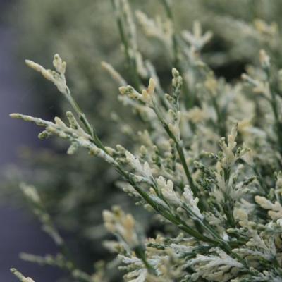 chamaecyparis-lawsoniana-pearly-swirls