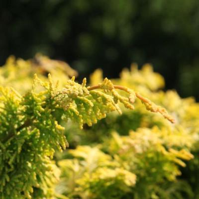 chamaecyparis-obt-fernspray-gold
