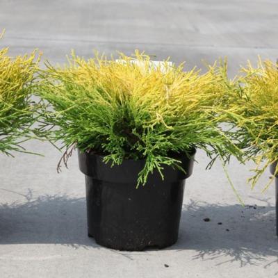 chamaecyparis-pisifera-filifera-aurea