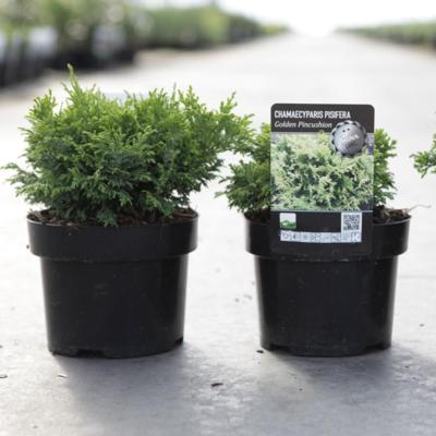 chamaecyparis-pisifera-golden-pincushion