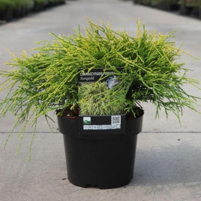 chamaecyparis-pisifera-sungold