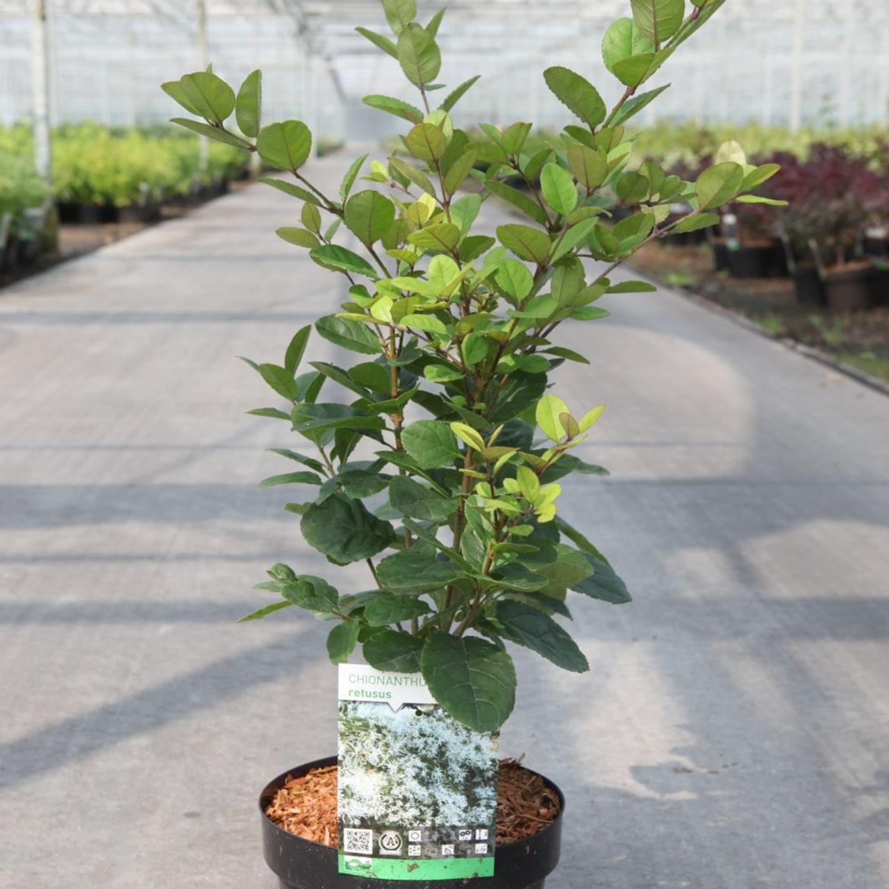 Chionanthus retusus plant